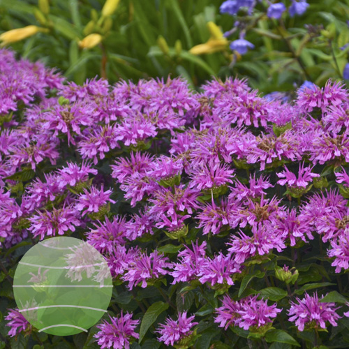 Walter Blom Plants Monarda SUGAR BUZZ Lilac Lollipops