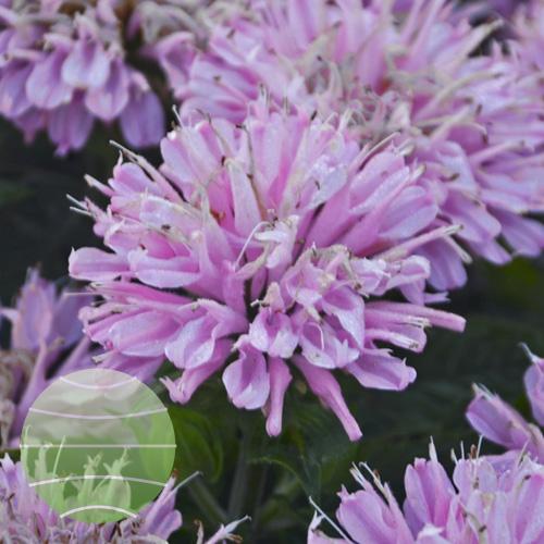Walter Blom Plants Monarda SUGAR BUZZ Pink Frosting