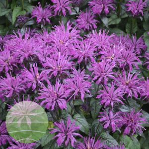 Walter Blom Plants Monarda SUGAR BUZZ Rockin Raspberry