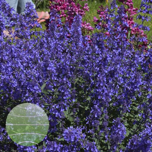 Walter Blom Plants Nepeta Junior Walker