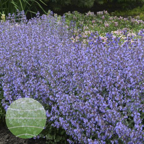 Walter Blom Plants Nepeta Purrsian Blue