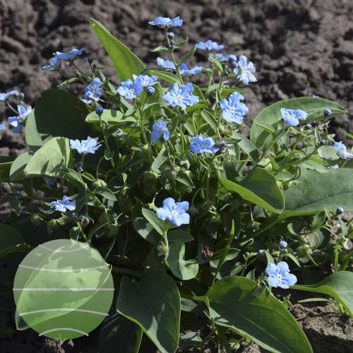 Walter Blom Plants Omphalodes All Summer Blues