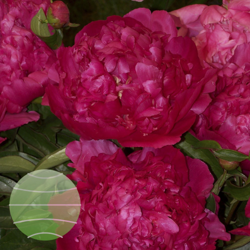 Walter Blom Plants Paeonia Adolphe Rousseau