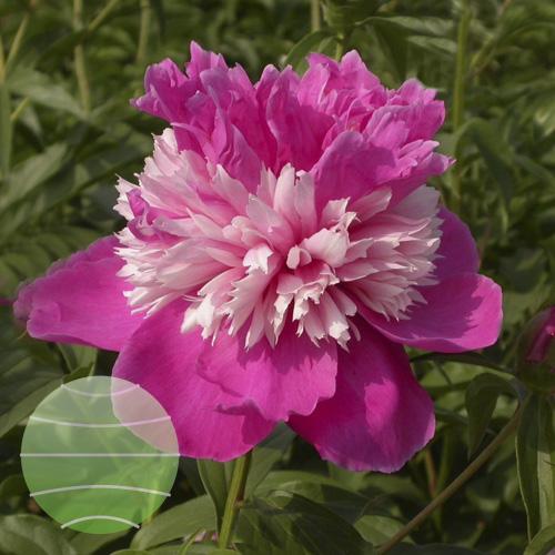 Walter Blom Plants Paeonia Celebrity