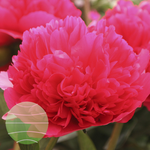 Walter Blom Plants Paeonia Command Performance