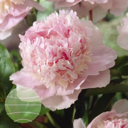 Walter Blom Plants Paeonia Edens Perfume