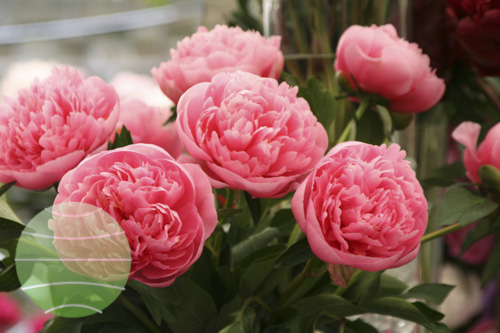 Walter Blom Plants Paeonia Etched Salmon
