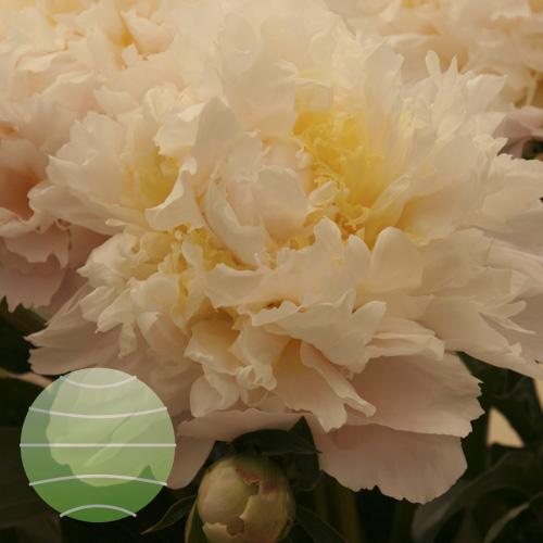 Walter Blom Plants Paeonia Honey Gold