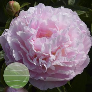 Walter Blom Plants Paeonia LD Albert Crousse