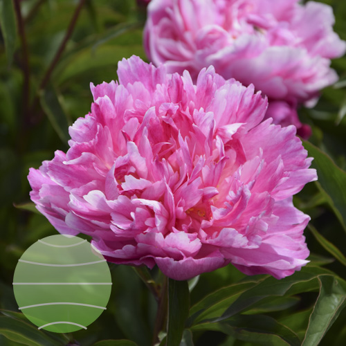 Walter Blom Plants Paeonia LD Bunker Hill