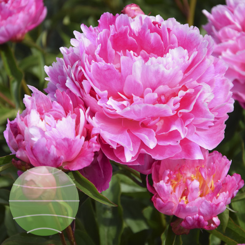 Paeonia LD Bunker Hill