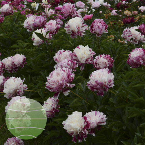 Walter Blom Plants Paeonia LD Candy Stripe
