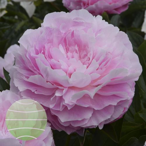 Walter Blom Plants Paeonia LD Susie