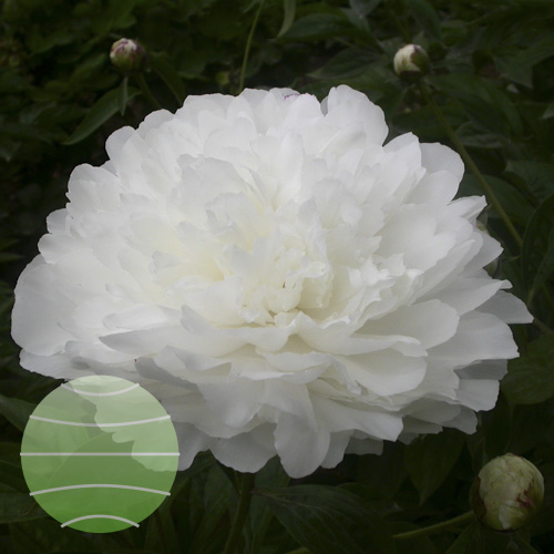 Walter Blom Plants Paeonia White Sarah Bernhardt