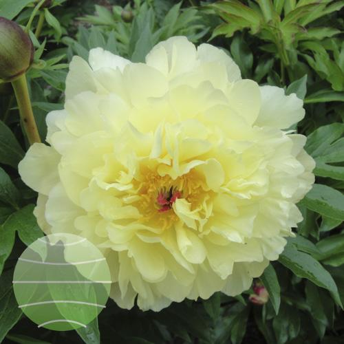 Walter Blom Plants Paeonia i Amy Jo