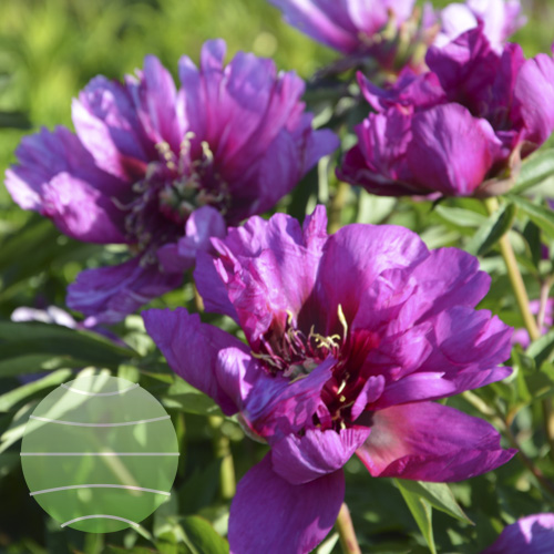 Paeonia i Morning Lilac