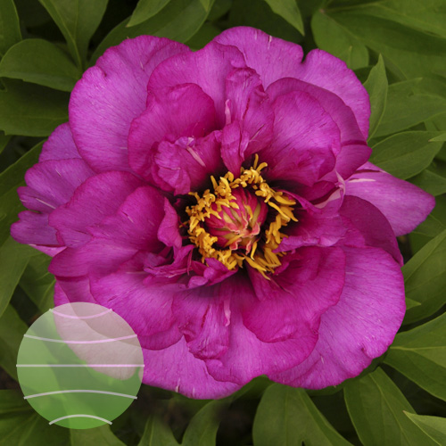 Paeonia i Morning Lilac