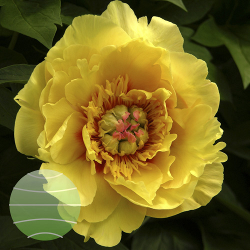 Walter Blom Plants Paeonia i Sequestered Sunshine
