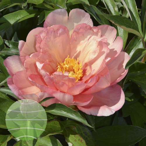 Walter Blom Plants Paeonia i Singing in the Rain