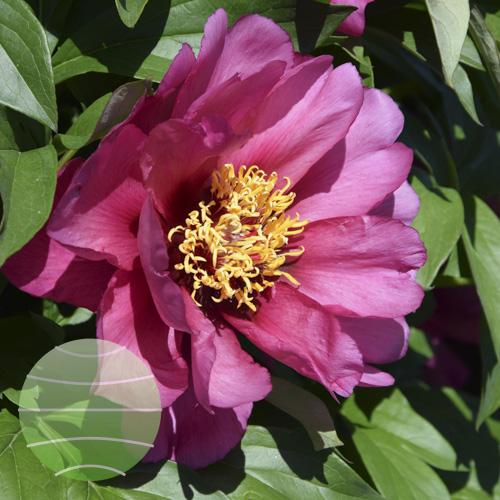 Walter Blom Plants Paeonia i Yankee Doodle Dandy