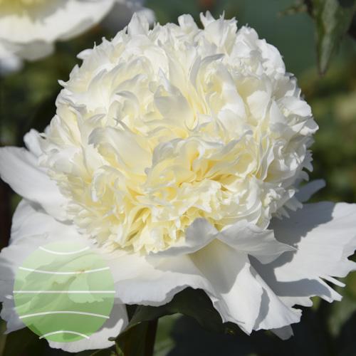 Walter Blom Plants Paeonia ld Charles White