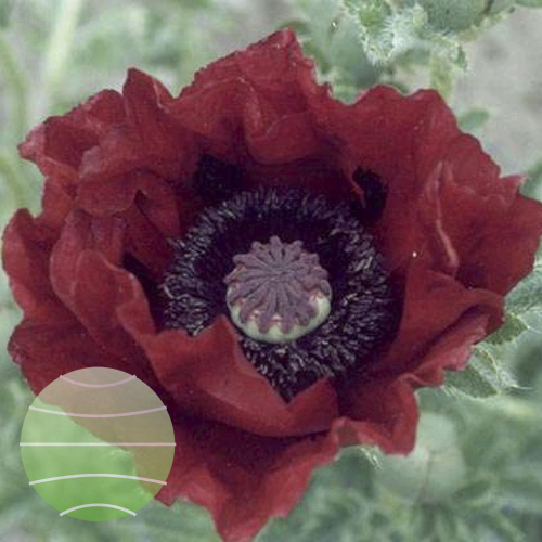 Papaver Waltzing Mathilde