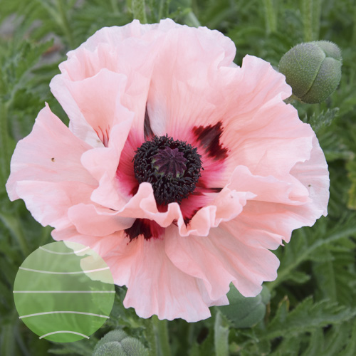 Walter Blom Plants Papaver o Waltzing Elizabeth
