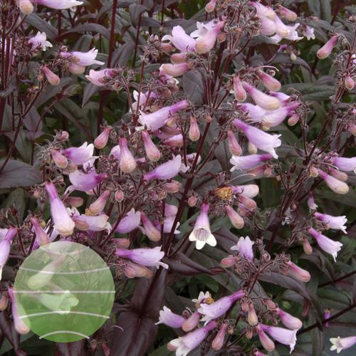 Walter Blom Plants Penstemon Dark Tower