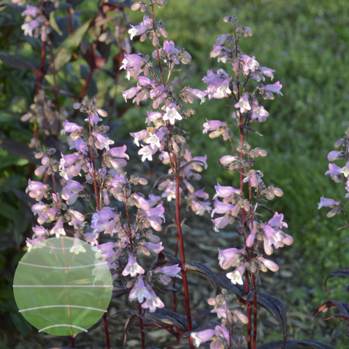 Walter Blom Plants Penstemon digitalis Blackbeard