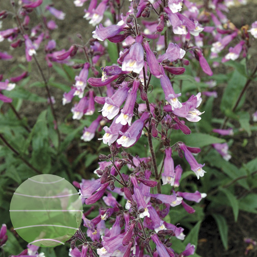 Walter Blom Plants Penstemon Prairie Twilight