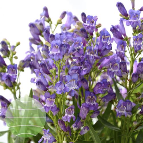 Walter Blom Plants Rock Candy Blue Bloom