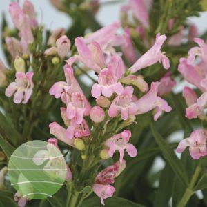 Walter Blom Plants Penstemon Rock Candy Light Pink