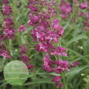 Walter Blom Plants Penstemon Rock Candy Pink Bloom