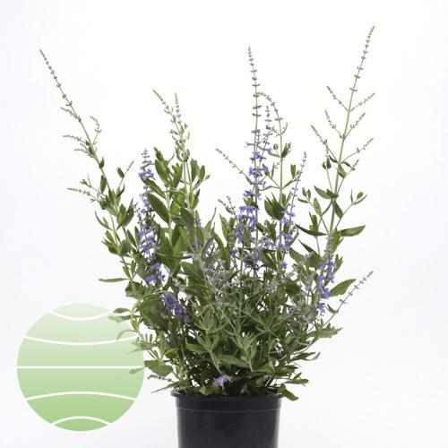 Walter Blom Plants Perovskia Blue Spritze
