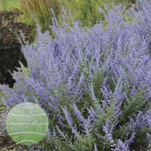 Walter Blom Plants Perovskia Rocket Man