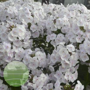 Walter Blom Plants Phlox Fashionably Early Crystal
