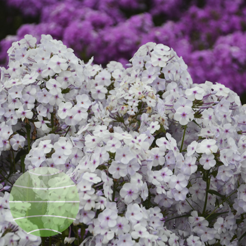 Walter Blom Plants Phlox Fashionably Early Lavender Ice