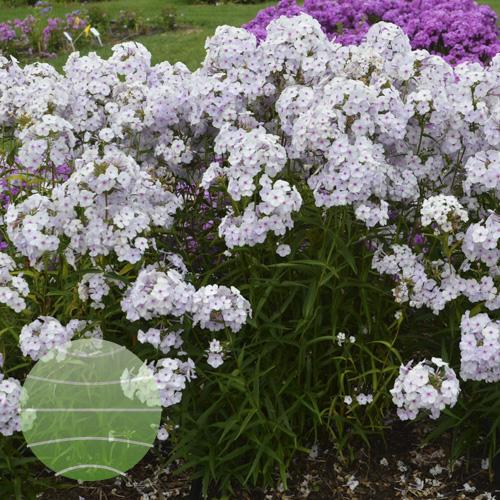Walter Blom Plants Phlox Fashionably Early Lavender Ice
