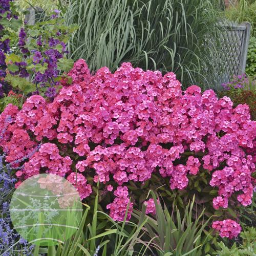 Walter Blom Plants Phlox Glamour Girl