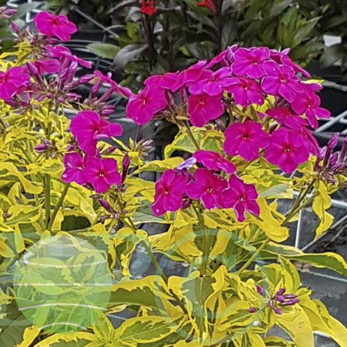 Walter Blom Plants Phlox p Goldmine