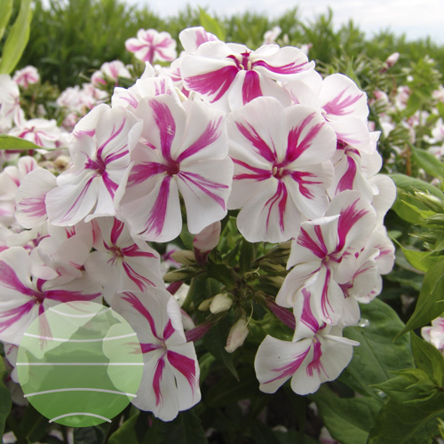 Walter Blom Plants Phlox p Twister