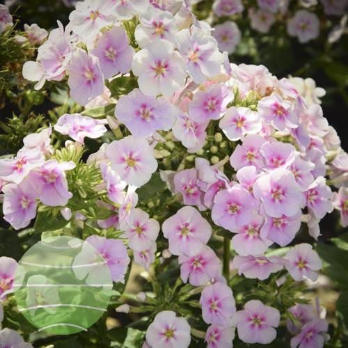 Walter Blom Plants Phlox Younique Bicolour