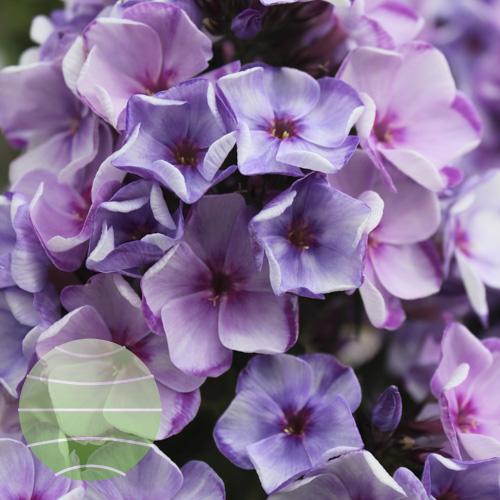 Walter Blom Plants Phlox p Younique Blend