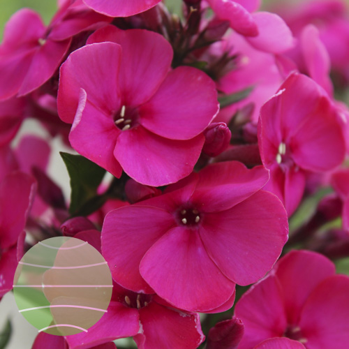 Walter Blom Plants Phlox p Younique Cerise