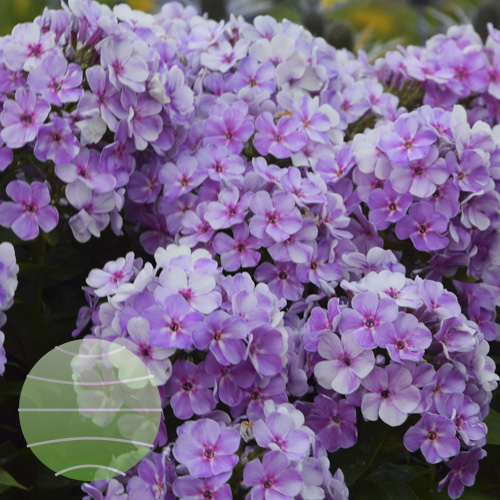 Walter Blom Plants Phlox p Younique Mauve