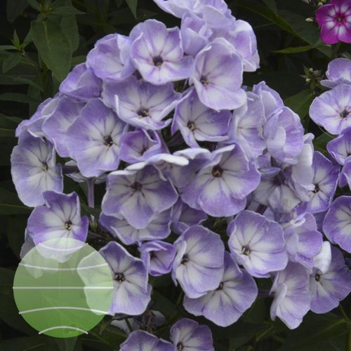 Walter Blom Plants Phlox p Younique Old Blue