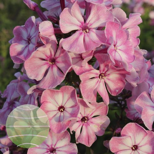 Walter Blom Plants Phlox p Younique Old Pink