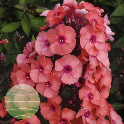 Walter Blom Plants Phlox p Younique Orange