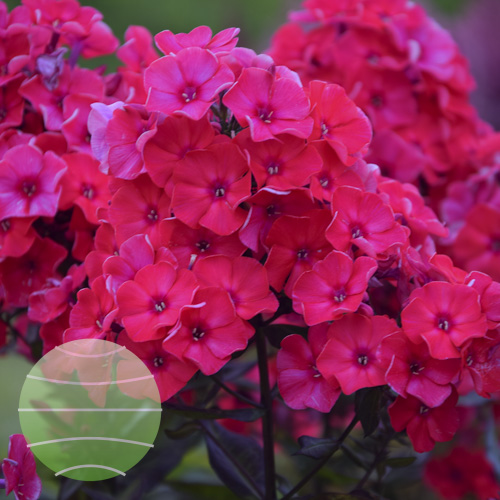 Walter Blom Plants Phlox Younique Red