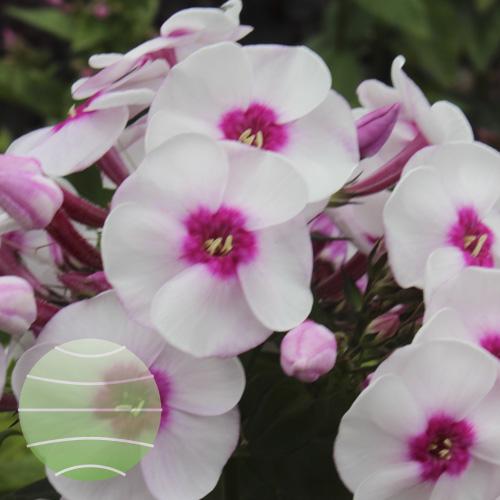 Walter Blom Plants Phlox p Younique Trendy
